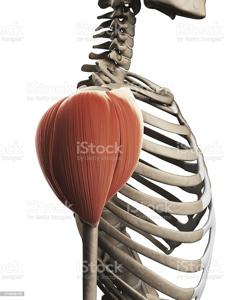 Deltoid Muscle Stock Photo More Pictures Of Anatomy Istock