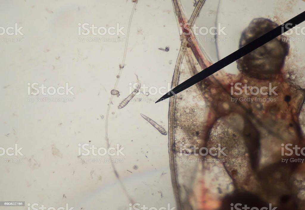 Demodex parasite under skin dog take photo from microscope stock photo
