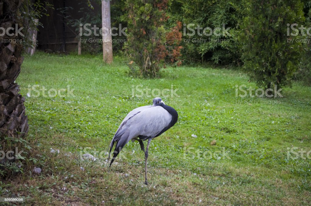 demoiselle crane anthropoides virgo also known as the blue crane wildlife animal stock photo