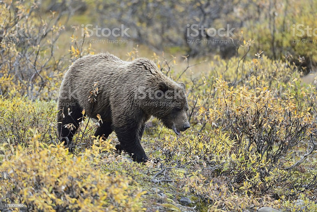 Denali grizzly royalty-free stock photo