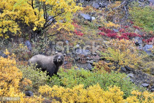 istock Denali grizzly 178931027