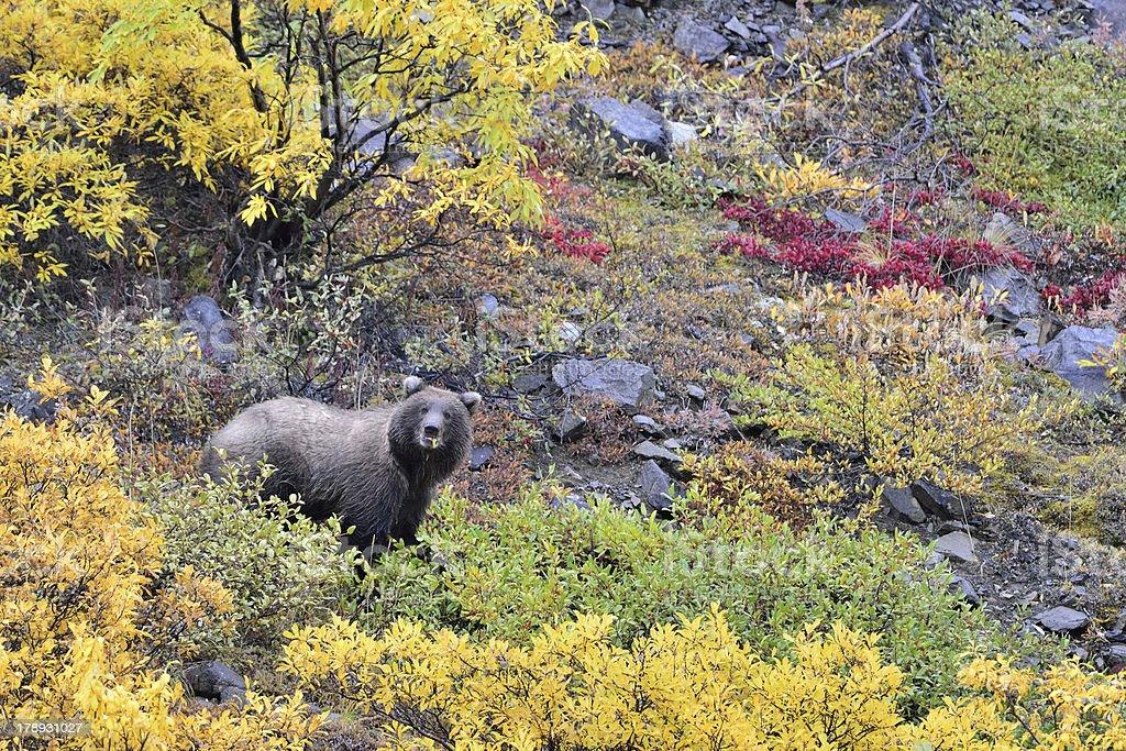 Denali grizzly stock photo