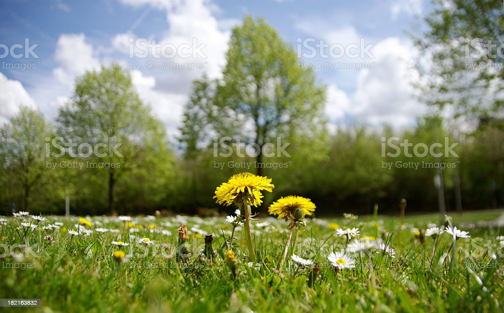 Dendelion stock photo