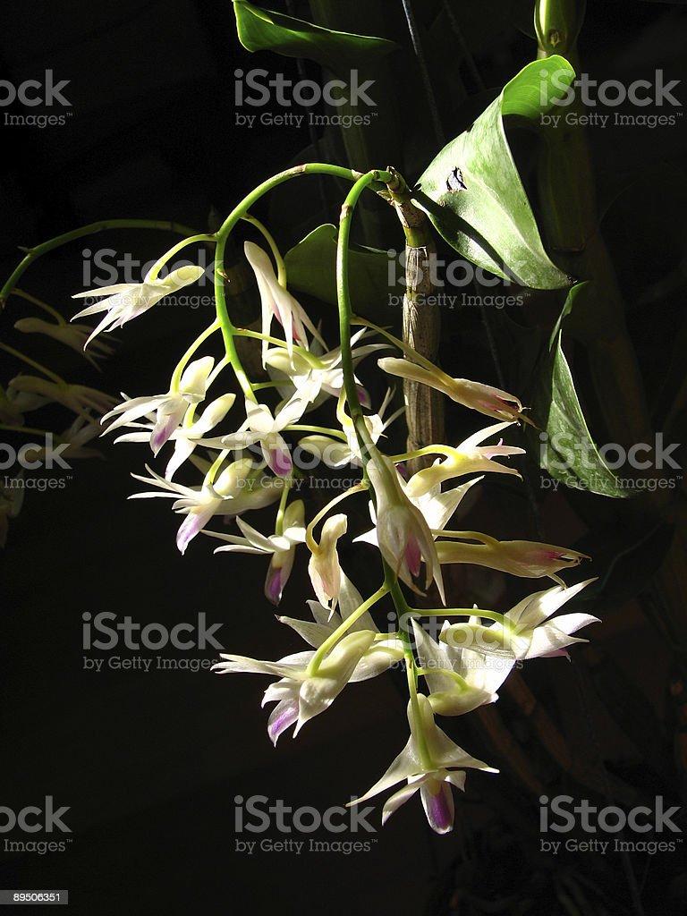 Dendrobium amethystoglossum royalty-free stock photo