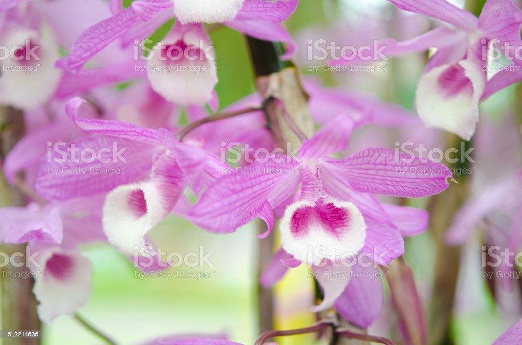 Dendrobium aphyllum orchid flowers stock photo