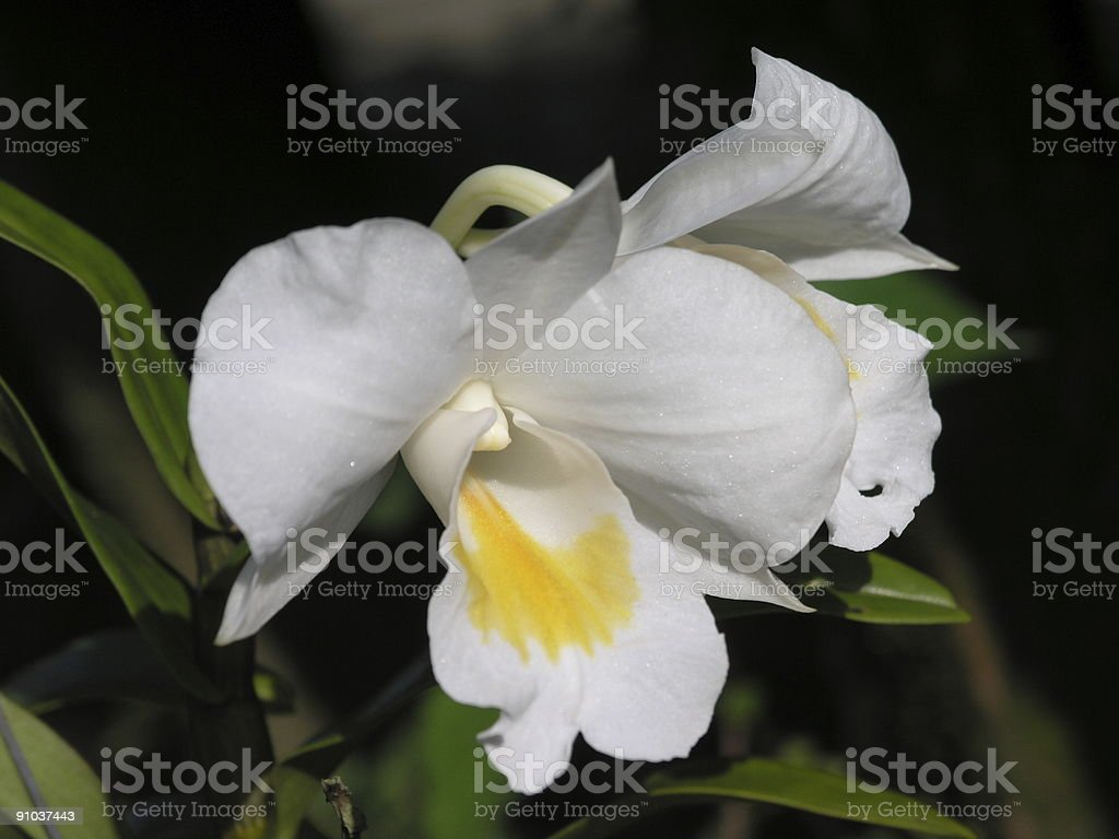 Dendrobium formosum stock photo