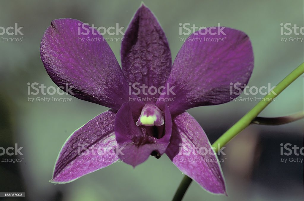 Dendrobium Hybrid Orchid Bloom royalty-free stock photo