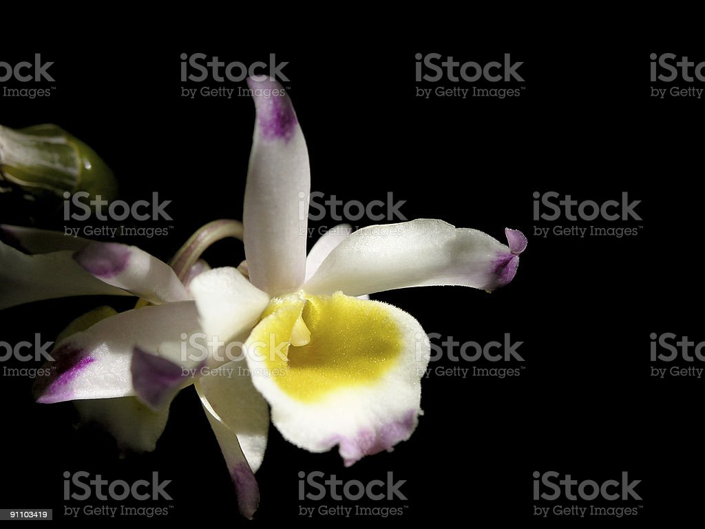 Dendrobium lindleyanum royalty-free stock photo