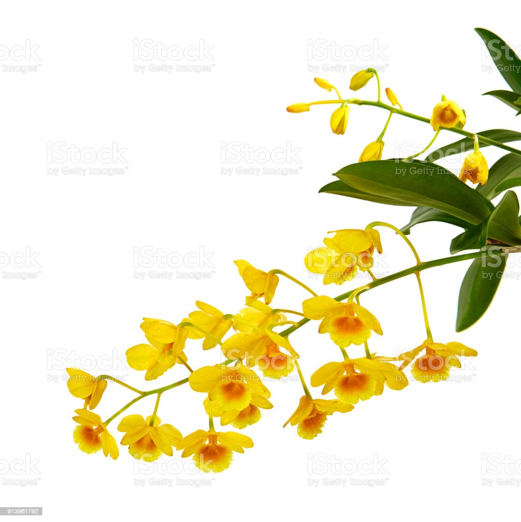 Dendrobium Lindleyi Wild Yellow Orchids And Leaves Isolated On White