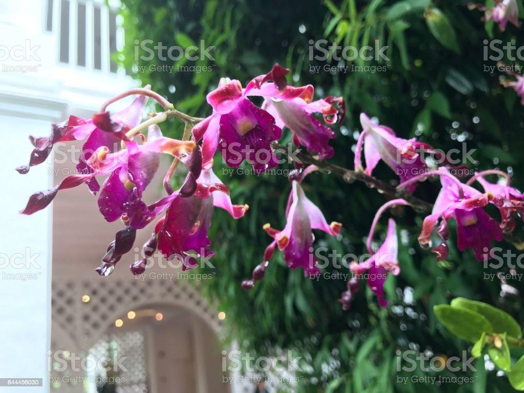 Flor de Margaret Thatcher orquídea Dendrobium - foto de acervo