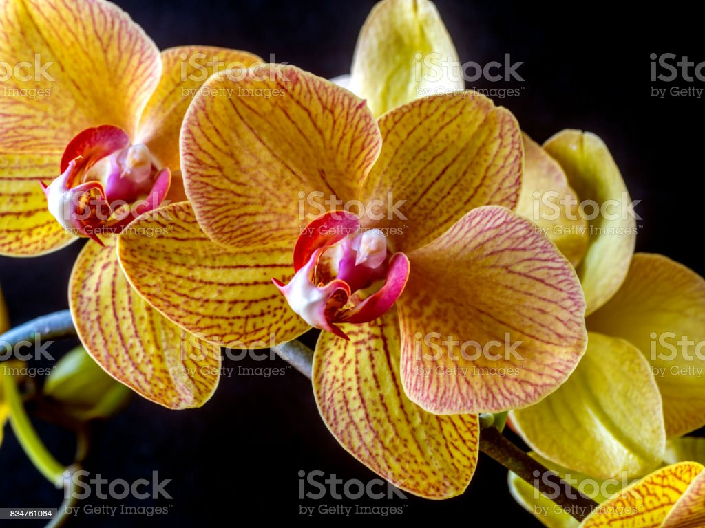 Dendrobium nobile orchid stock photo