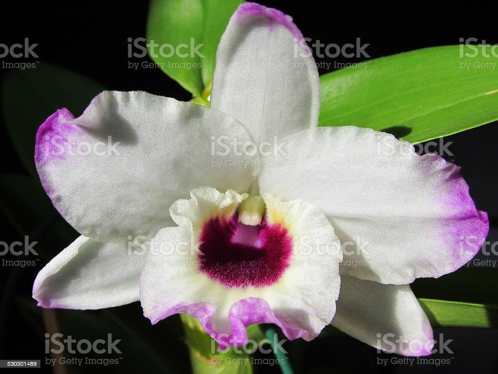 Dendrobium nobile stock photo
