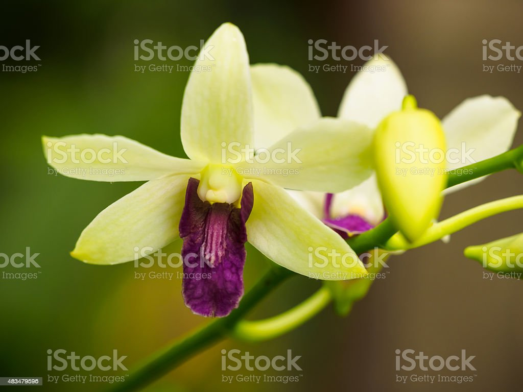 Dendrobium Orchid Flowers stock photo