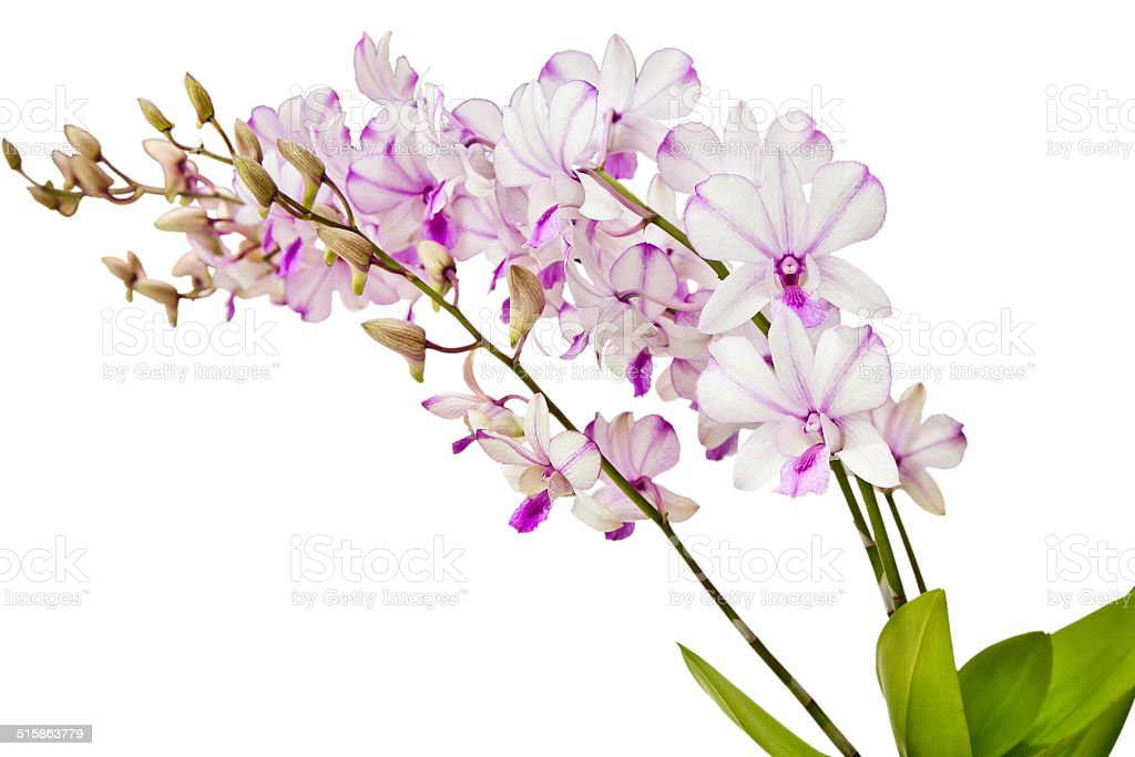 Dendrobium orchid hybrids stock photo