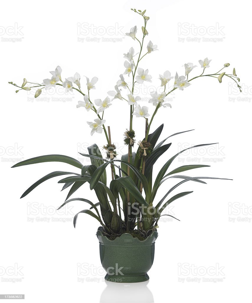 Dendrobium Orchid in Green Vase on a white background royalty-free stock photo