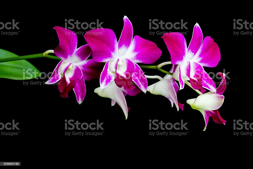 Dendrobium orchid isolated on black background stock photo