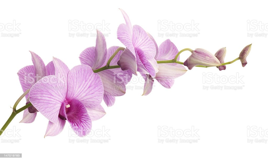 dendrobium orchid isolated on white background royalty-free stock photo