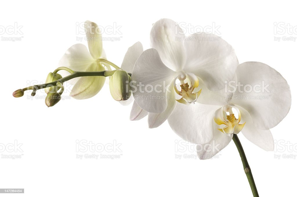 dendrobium orchid isolated on white background. stock photo