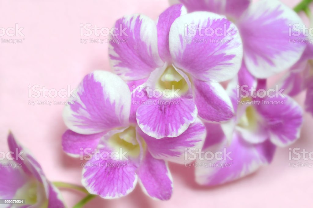 Dendrobium orchid, Pink splash stock photo