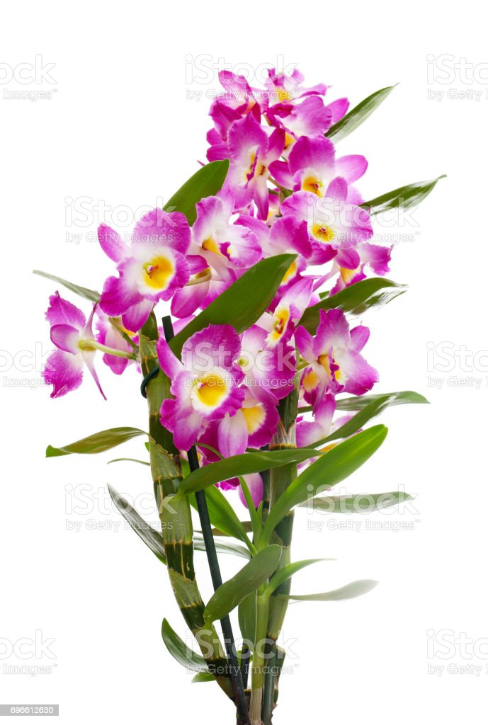 Dendrobium orchids bouquet stock photo