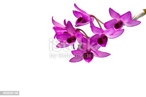 Dendrobium orchids flowers isolated on white background