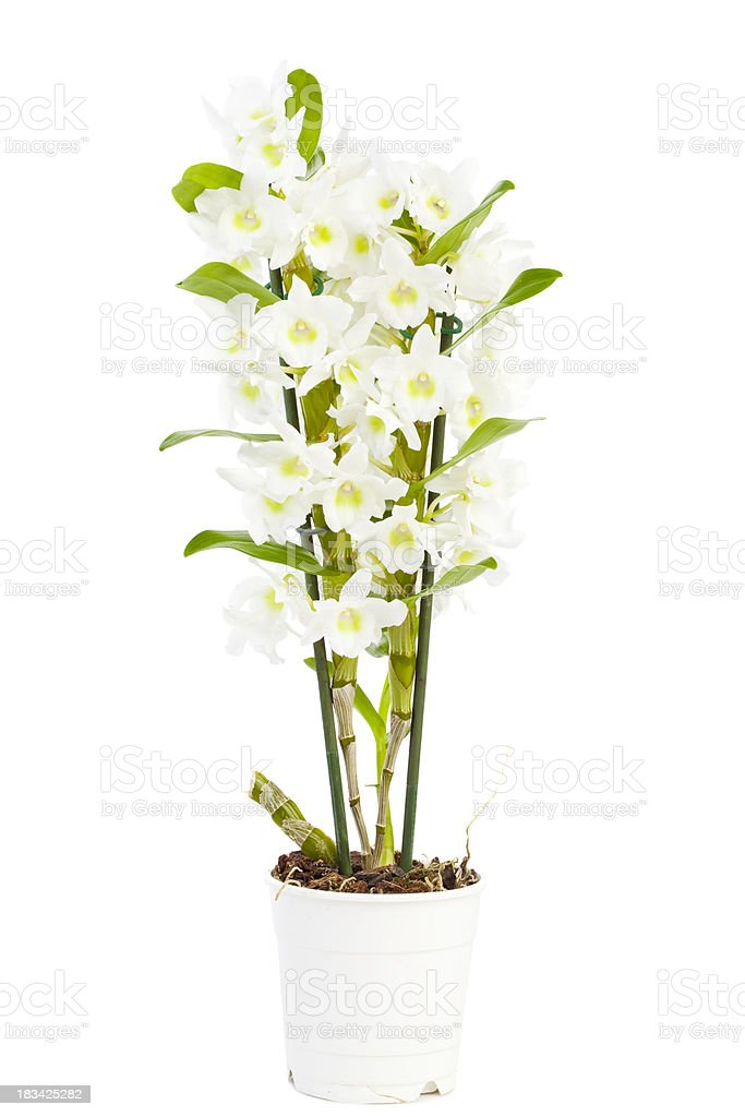 dendrobium stock photo