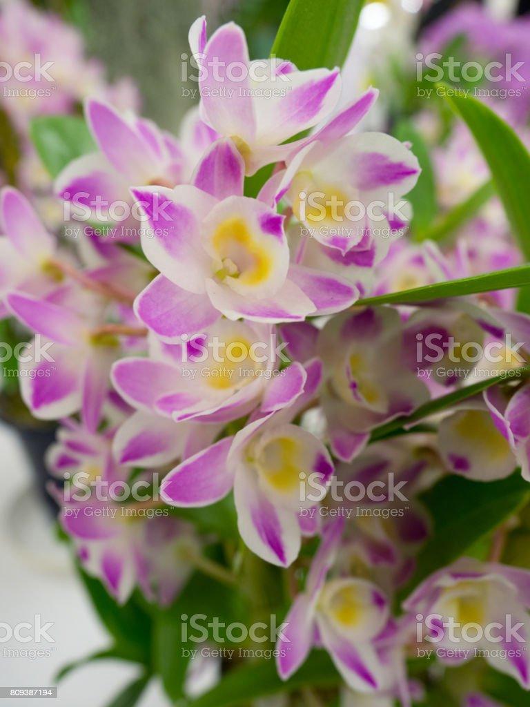 Dendrobium stock photo