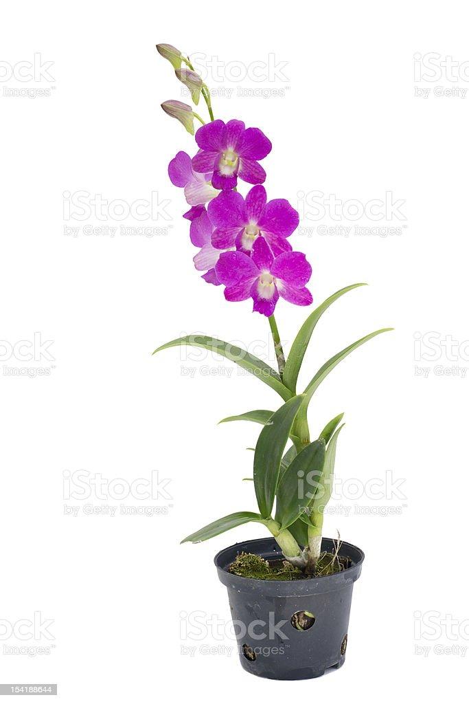 Dendrobium pompadour stock photo