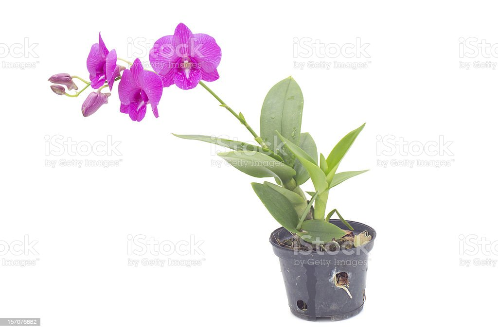 Dendrobium pompadour stock photo
