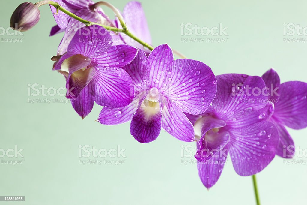 Dendrobium Siam Stripe purple orchid with dew drop royalty-free stock photo