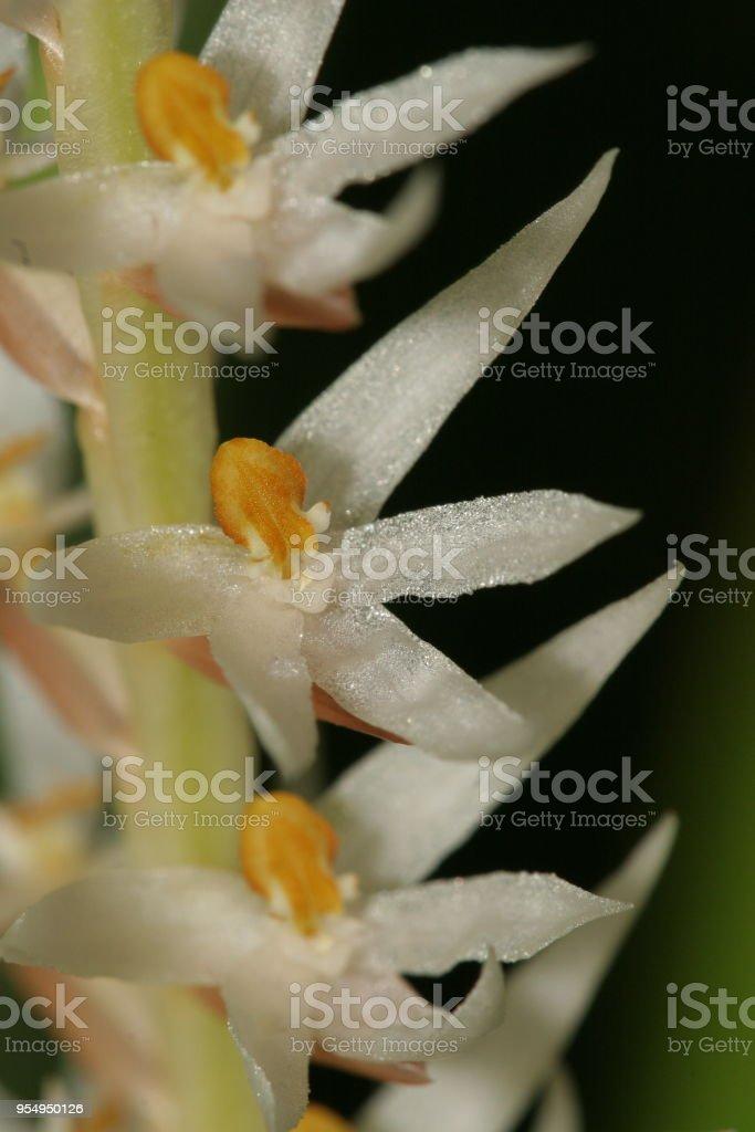 Dendrochilum glumaceum - foto stock
