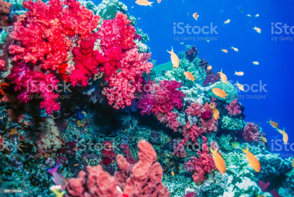 dendronephthya soft corals stock photo