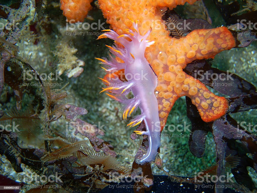 Dendronotus albus nudibranch on Compound Colonial Tunicate stock photo