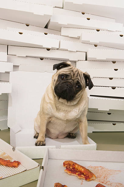 Denial – it wasn't me! Fun shot of naughty (but now content) pug that as just enjoyed a pizza feast. More images available from this shoot. feeding frenzy stock pictures, royalty-free photos & images