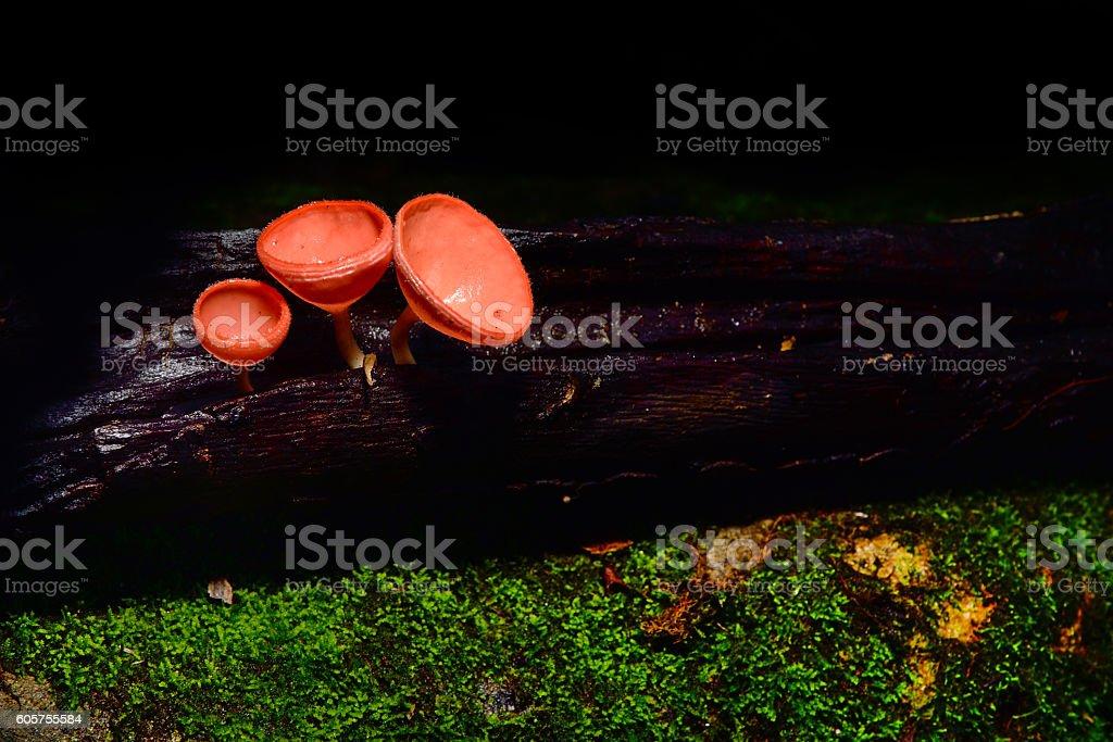 Dennis cup mushroom stock photo