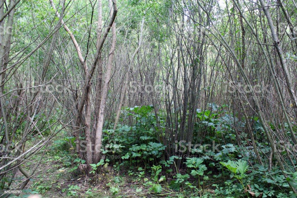 dense and  impassable brushwood of pussy-willows stock photo