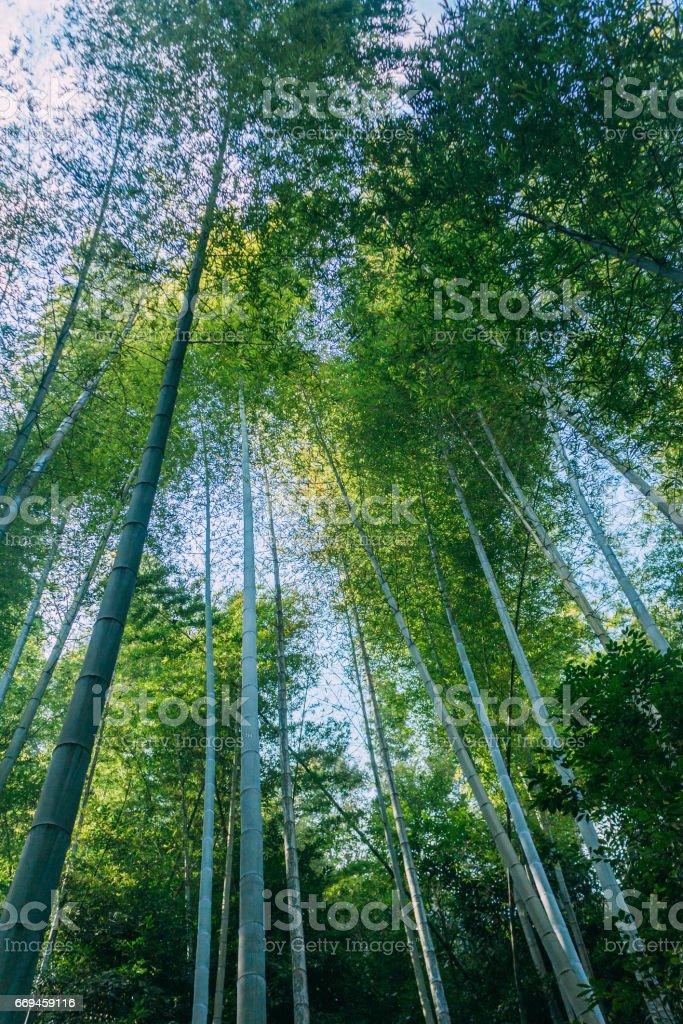 dense bamboo stock photo