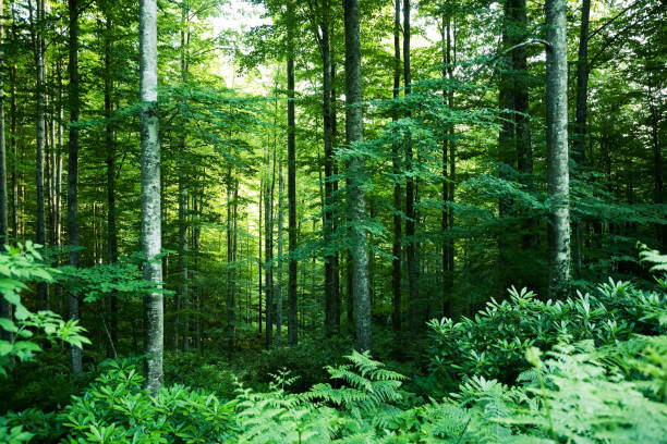 Dense beech forest with tall trees. stock photo