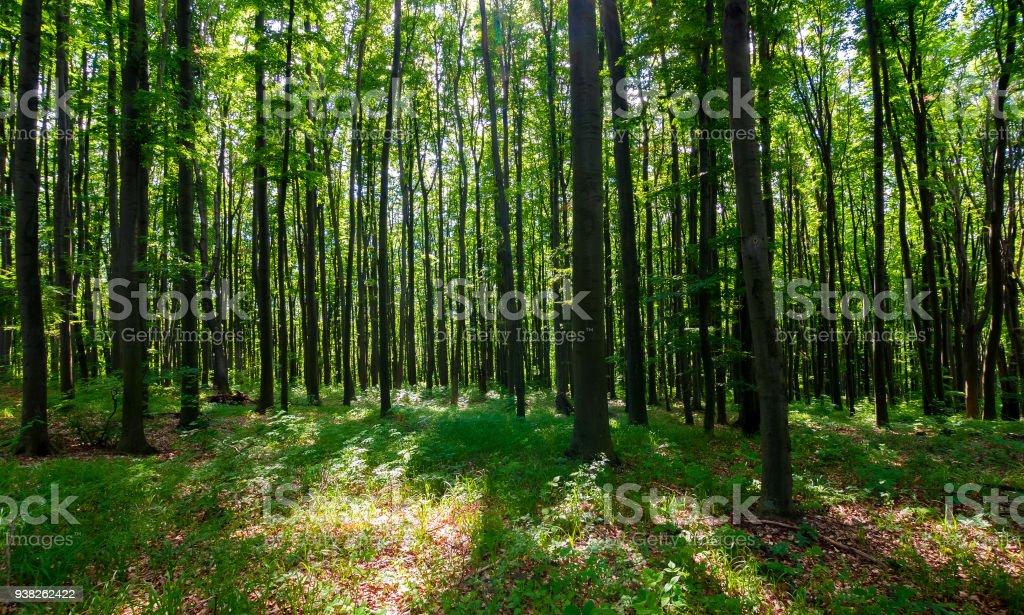 Dichte Buchenwälder mit hohen Bäumen – Foto