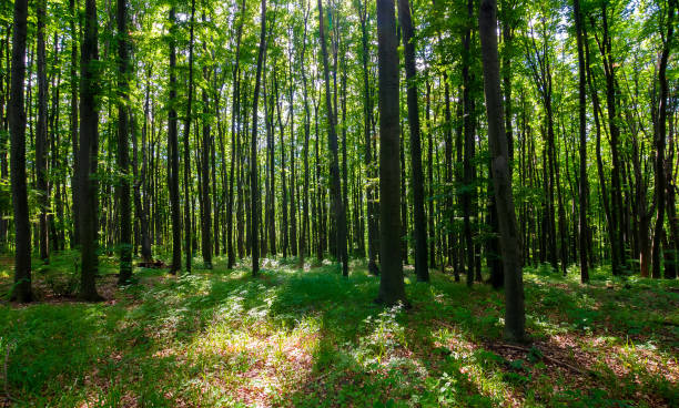dense beech forest with tall trees - woodland stock pictures, royalty-free photos & images