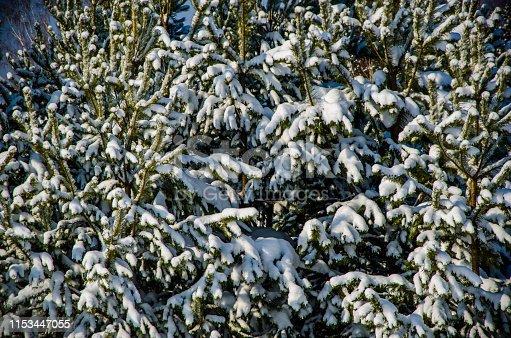dense coniferous forest. a large pine Park