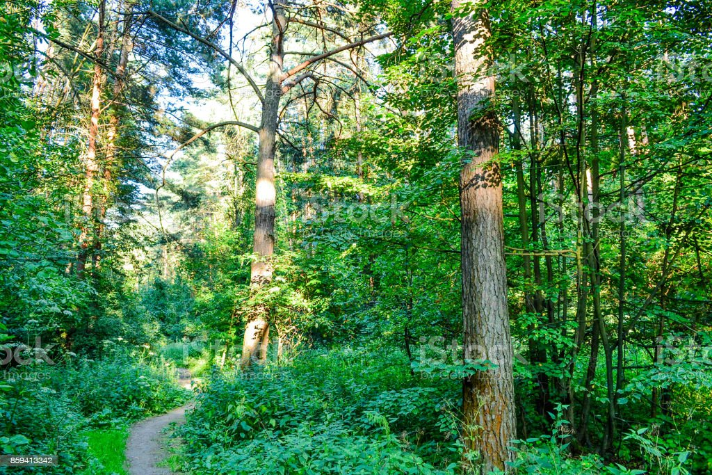 Dense Forest An Impenetrable Thicket Background Image Russia Summer Day  Stock Photo - Download Image Now - iStock
