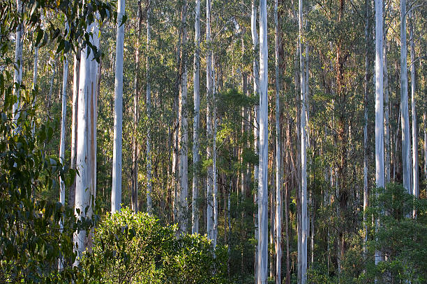 Dense stand of mountain ash in Australian forest stock photo