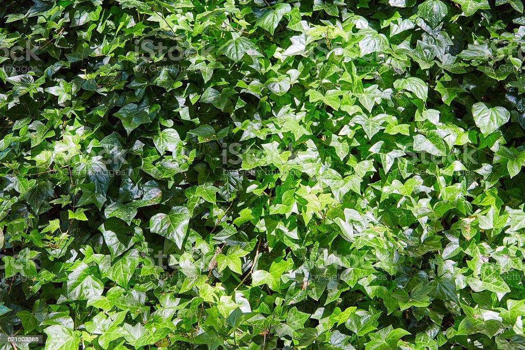 Dense thickets of a liana on a wall photo libre de droits