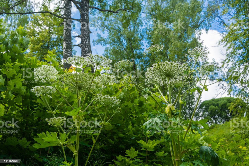 Dense thickets of Hogweed. foto