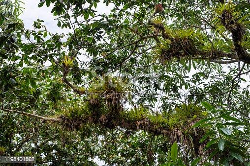 Epiphytes on trees, dense vegetation in Topes de Collantes Nature Reserve Park, Escambray Mountains, Sancti Spiritus District, Cuba