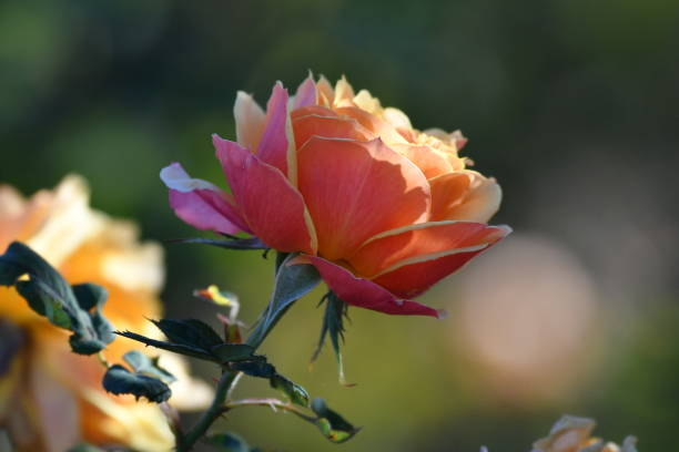dense vivid pink fade and soft yellow rose profile - steven harrie stock pictures, royalty-free photos & images