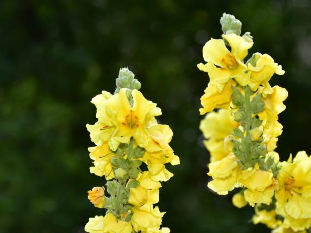 denseflower mullein stock photo