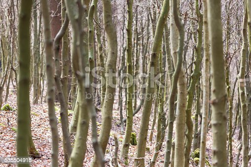 densely, impenetrable young beech forest in springtime