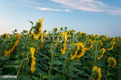 Densely growing sunflowers, Lubelskie Province, eastern Poland